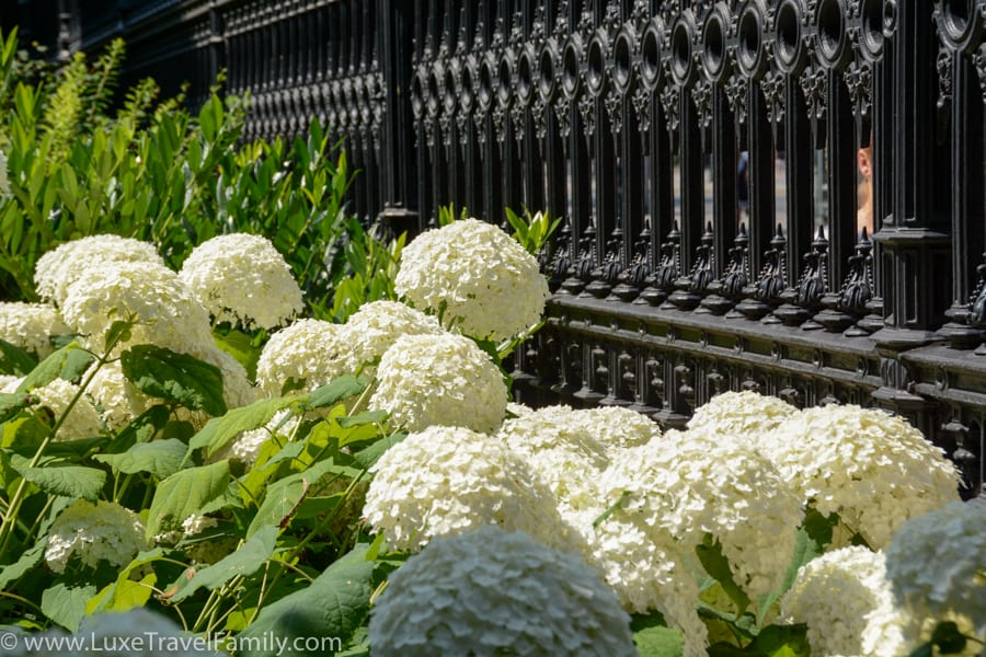 White hydrangea flowers at the Volksgarten Vienna