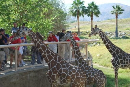 Feeding-Giraffes-Things-To-Do-Palm-springs-with-kids