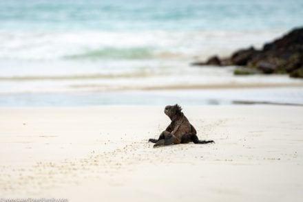 Iguana Tortuga Bay luxury land-based Galapagos Islands